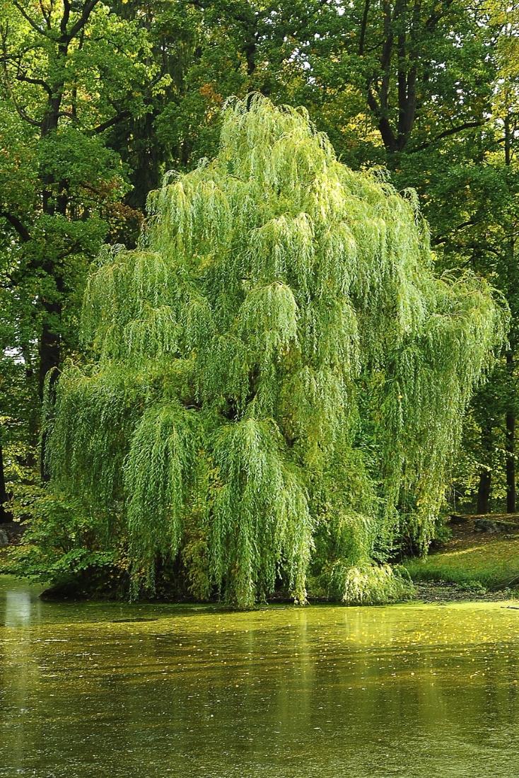 Что такое ветла? описание и значение