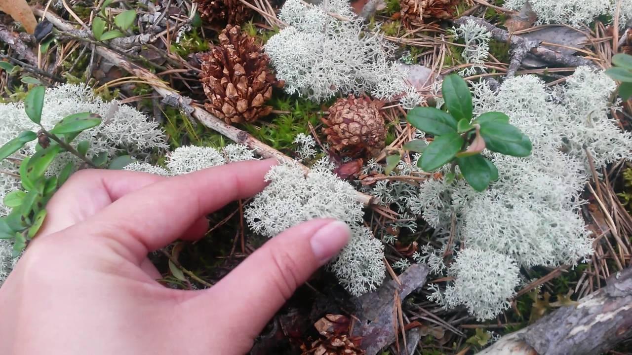 Олений мох (ягель): что это такое, лечебные свойства, рецепты применения