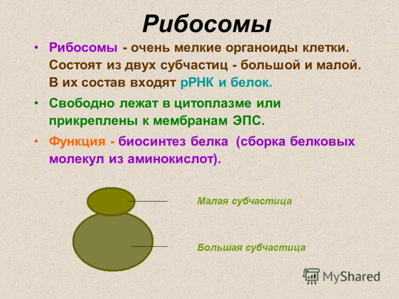 Рибосомы – строение и функции, синтез белка, аминокислот и атф (9 класс, биология)