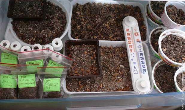 Стратификация семян – подробная инструкция с фото - огород, сад, балкон - медиаплатформа миртесен