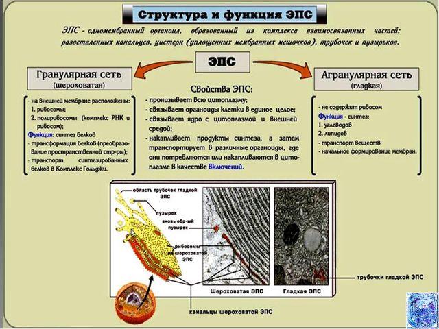 Что такое органоид? строение и функции органоидов. органоиды растительной клетки. органоиды животной клетки