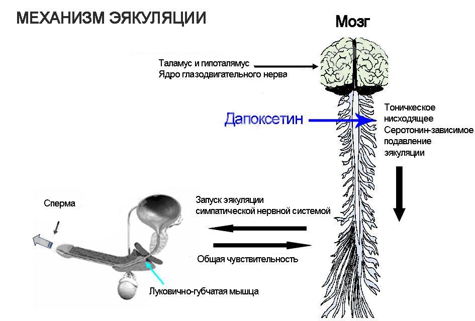 Что такое эякуляция, как происходит семяизвержение у мужчин
