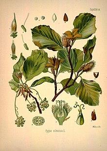 Ольха черная, или ольха клейкая — alnus glutinosa | russianpermaculture.ru