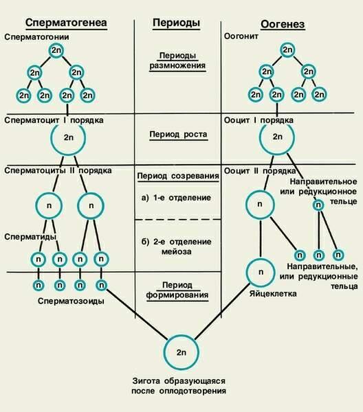 Овогенез — это процесс формирования яйцеклеток. сперматогенез и овогенез