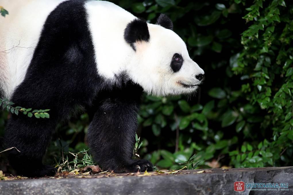 Панда - это медведь или енот? описание панды