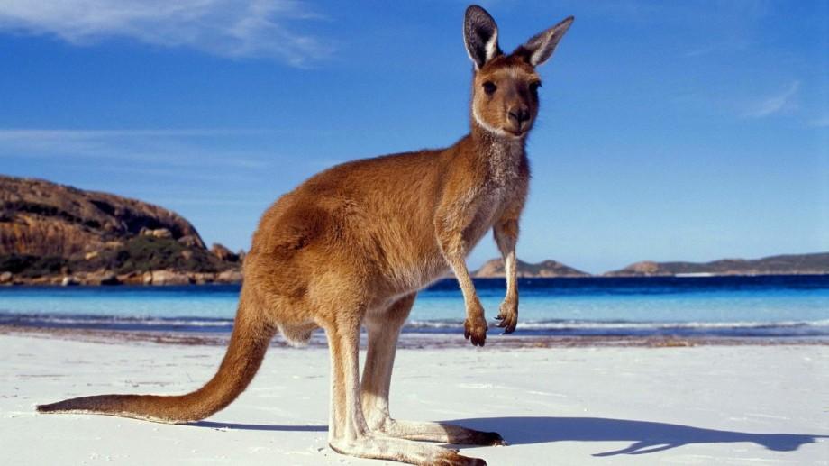 Кенгуру - kangaroo - qwe.wiki