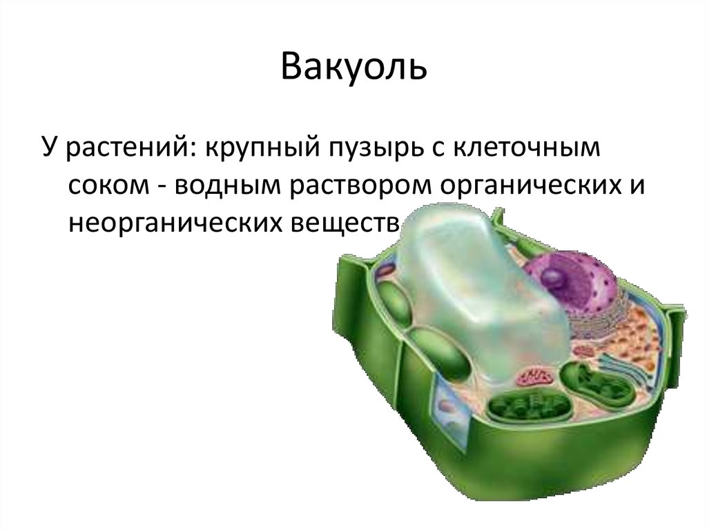Что такое вакуоли: виды и особенности структур