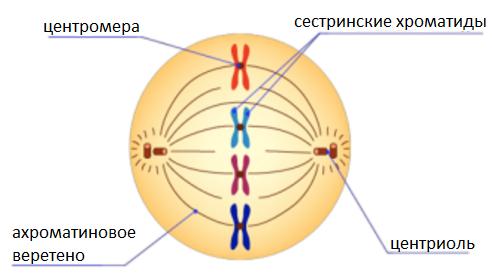 Лекция № 13. способы деления эукариотических клеток: митоз, мейоз, амитоз