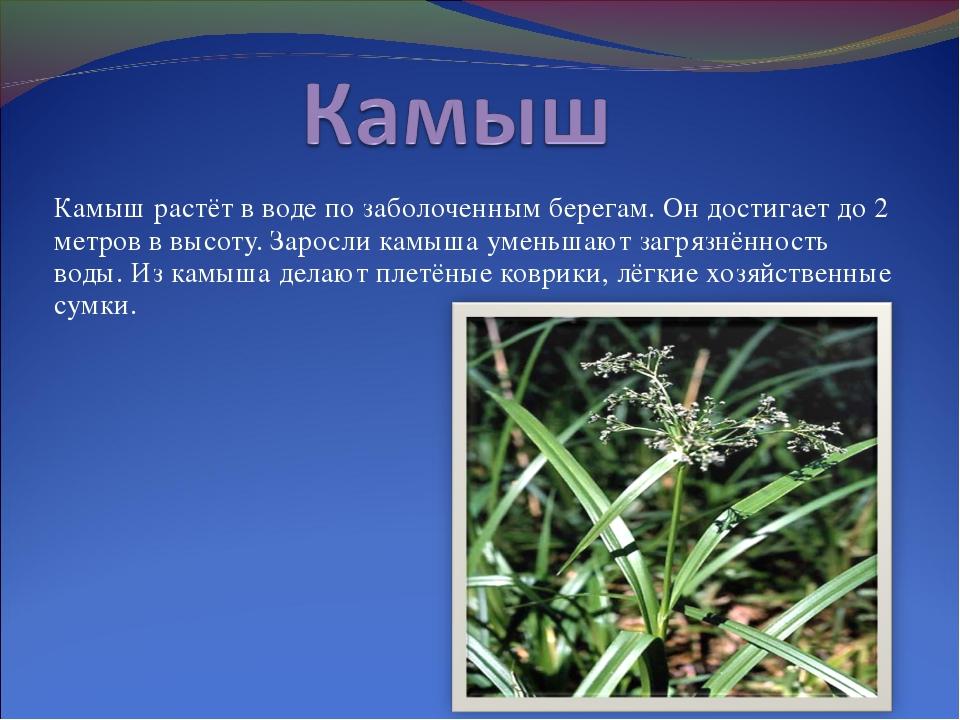 Камыш: что это такое? фото растения, как выглядит, где растут, виды