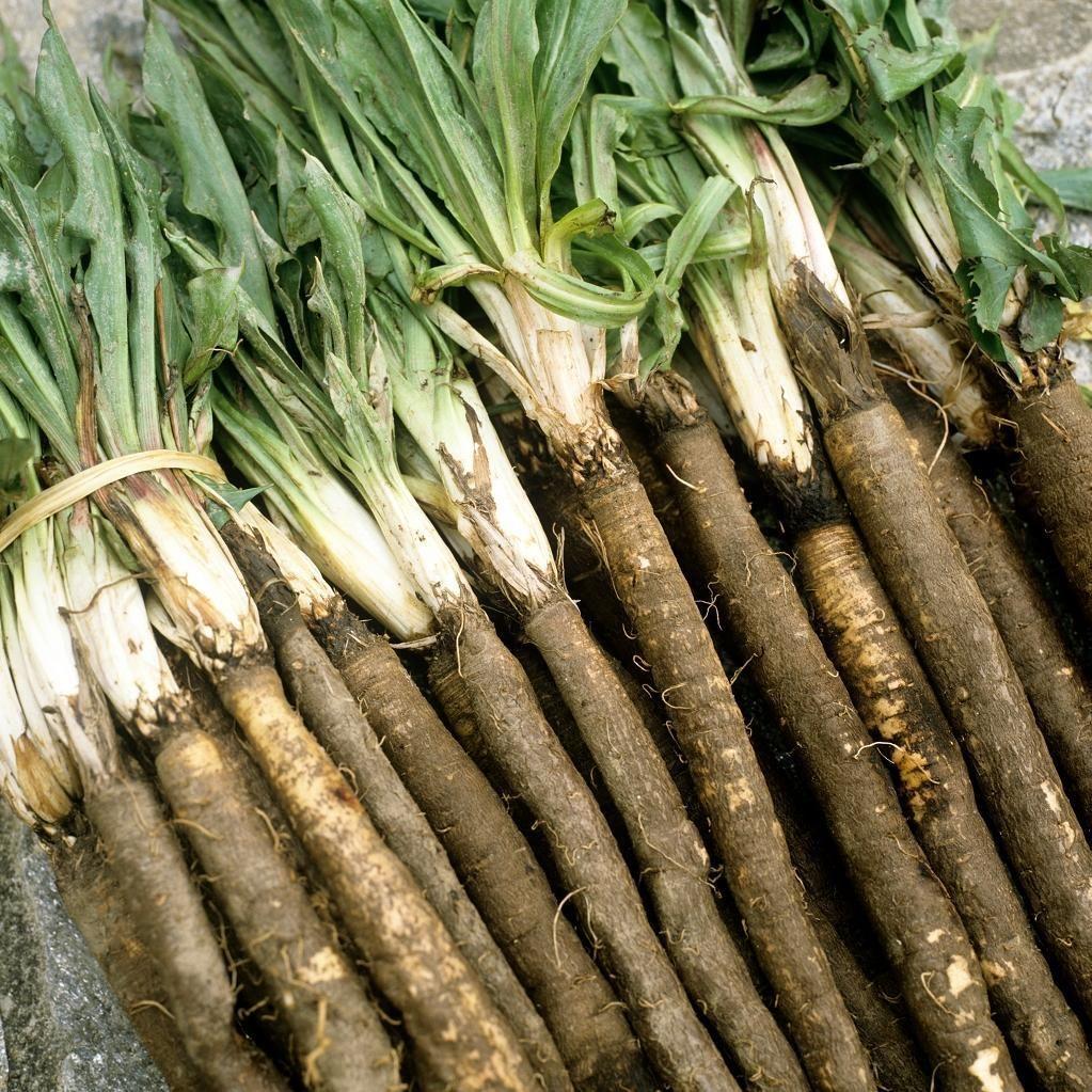 Скорцонера: описание лечебных и полезных свойств. скорцонера - полезные свойства этого лечебного растения и его фото