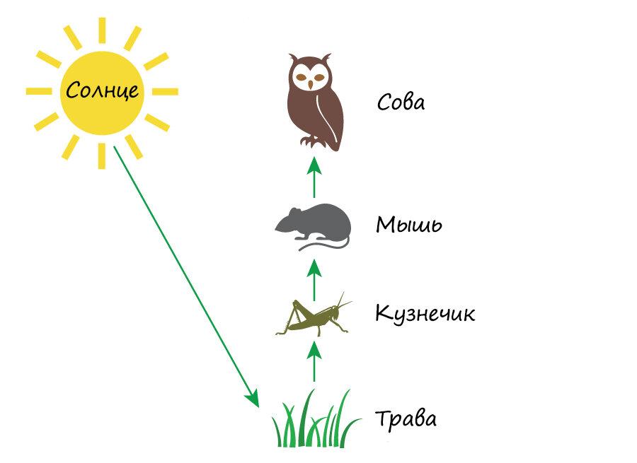Пищевая цепь – примеры потребителей, виды и признаки систем