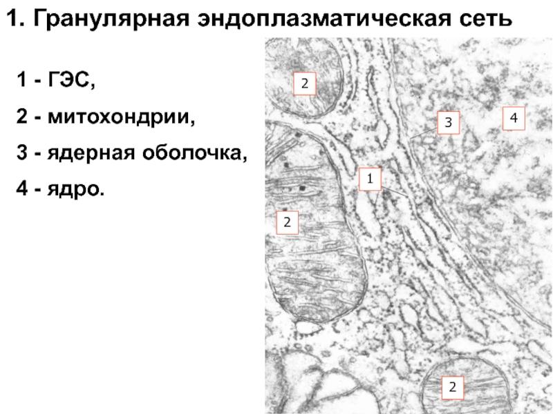Эндоплазматическая сеть википедия