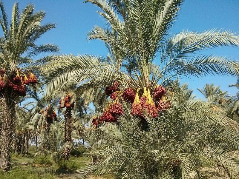 Пальмовое дерево: разновидности, описание, родина растения