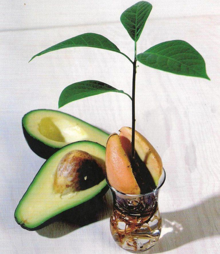 Авокадо - это фрукт или овощ? полезные свойства и сферы применения авокадо. сочетание авокадо с другими продуктами