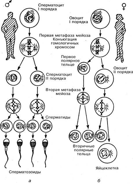 Овогенез, его стадии, их характеристика.