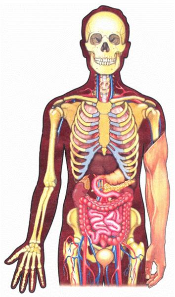 Биология: орган - это... что такое система органов (биология)