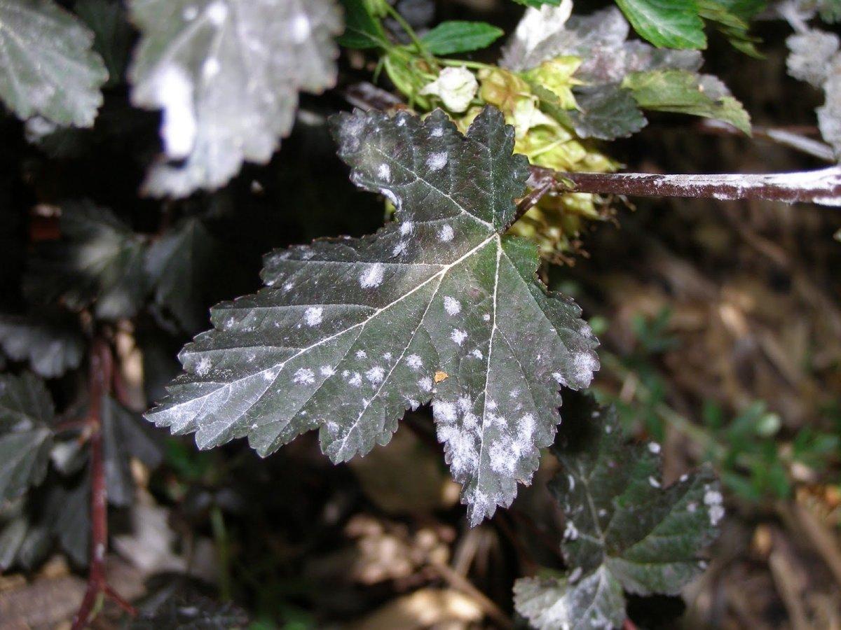 Белый налет на листьях смородины: чем обработать и что делать для лечения