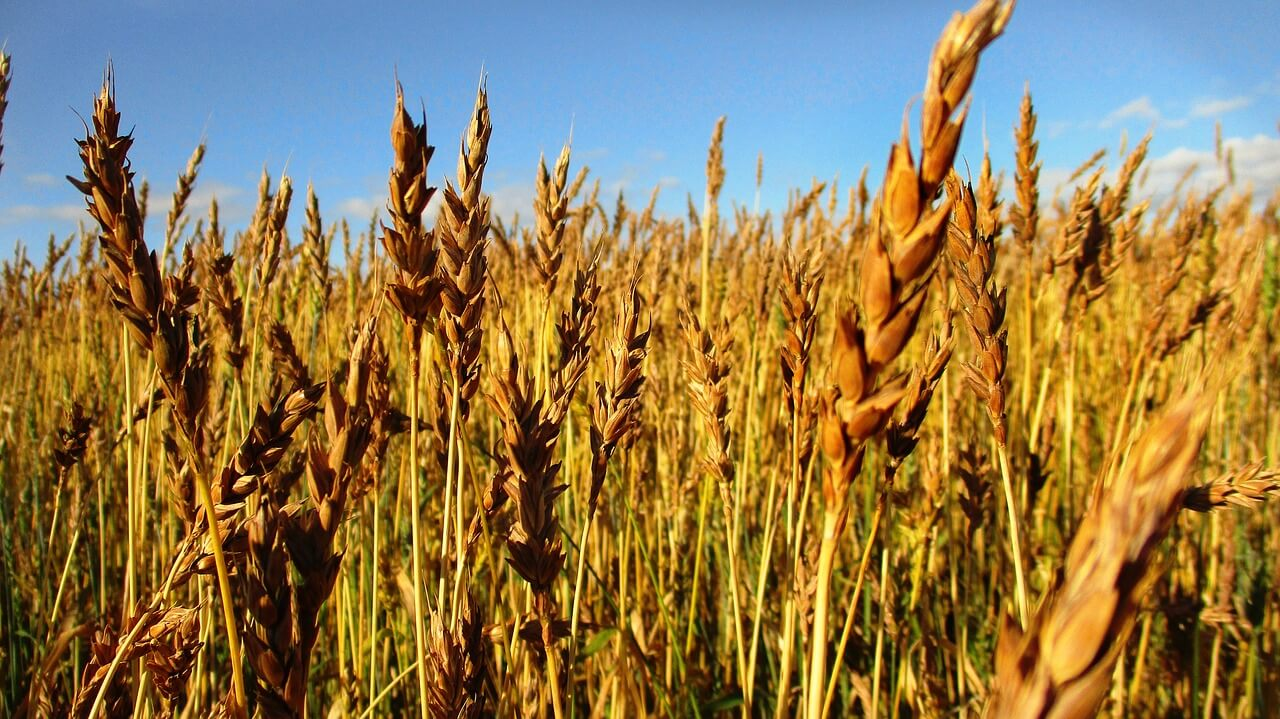 Классы пшеницы: виды, параметры классификации, как определить классность зерна, таблица характеристик