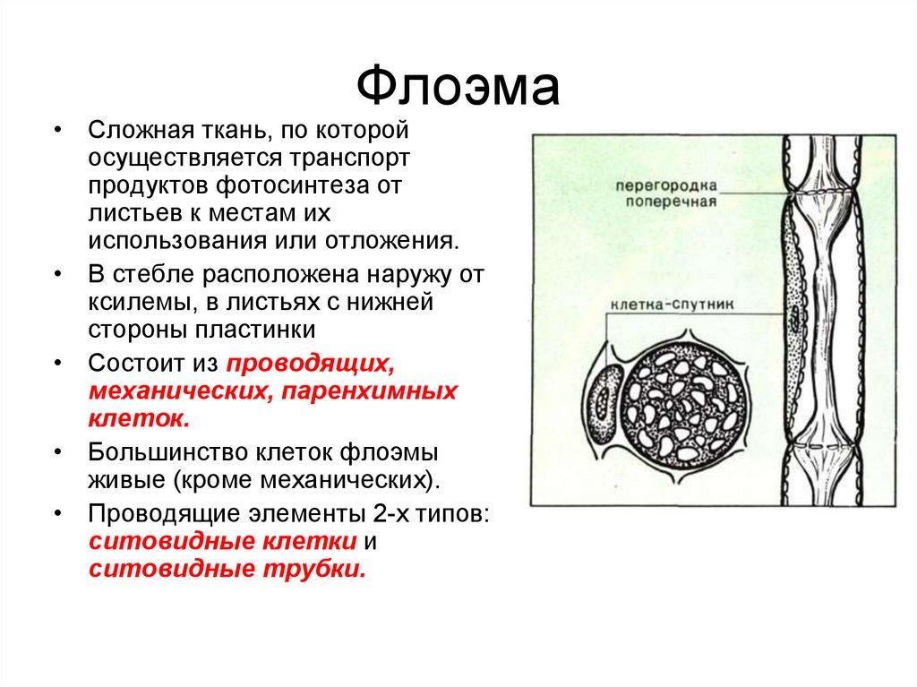 Флоэма - это что? функции, строение флоэмы, отличие от ксилемы