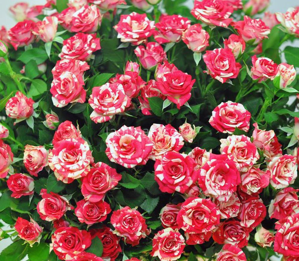 Спрей розы - особенности вида, описания сортов для выращивания в средней полосе | о розе