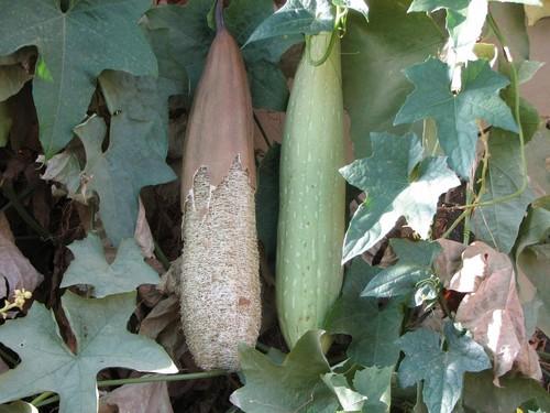 Люффа или люфа - полезные свойства и способы применения растущей мачалки