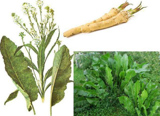 Лечебные свойства хрена: как использовать целебную силу его листьев, цветков и корней в домашних условиях, от чего помогает, полезные рецепты народной медицины