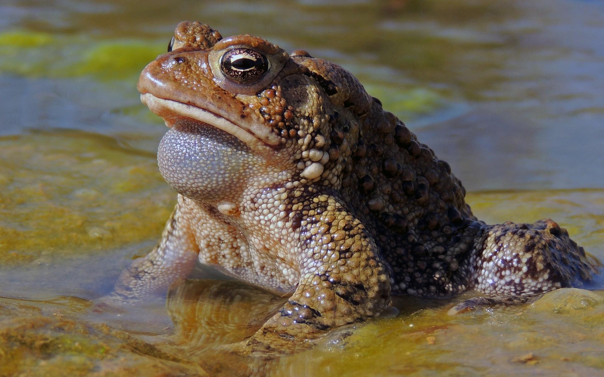 Жаба-ага — википедия. что такое жаба-ага