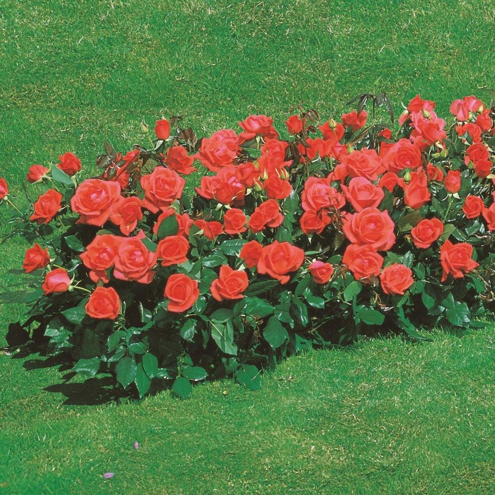 Роза флорибунда и её сорта на фото: посадка, уход и советы