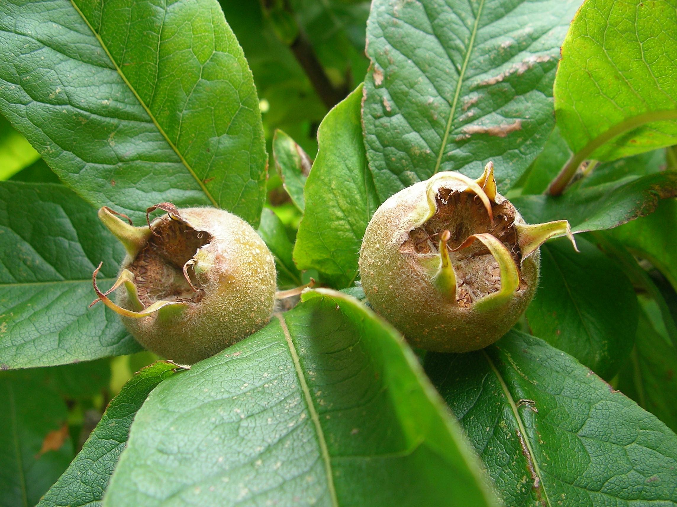Где растёт фрукт мушмула: выращивание и уход, можно ли вырастить в домашних условиях