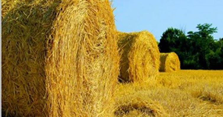 Сенаж. технология  приготовления кормов сенажного типа. животноводство.