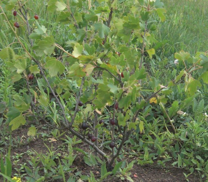 Золотистая смородина – особенности размножения, заболевания и возможные проблемы с кустарником