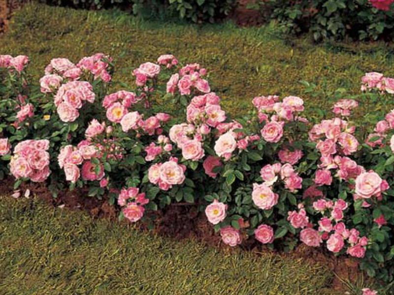 Полиантовые розы — описание, сорта, преимущества, правила ухода