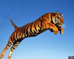Тигры: их описание, образ жизни и повадки. интересные факты о тиграх