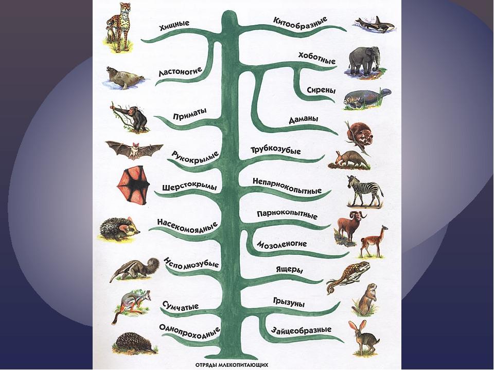 Млекопитающие животные – список и описание отрядов