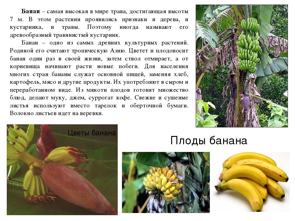 Бананы: польза и вред для организма, разновидности, условия хранения и варианты вкуснейшей выпечки   helperlife.ru   яндекс дзен