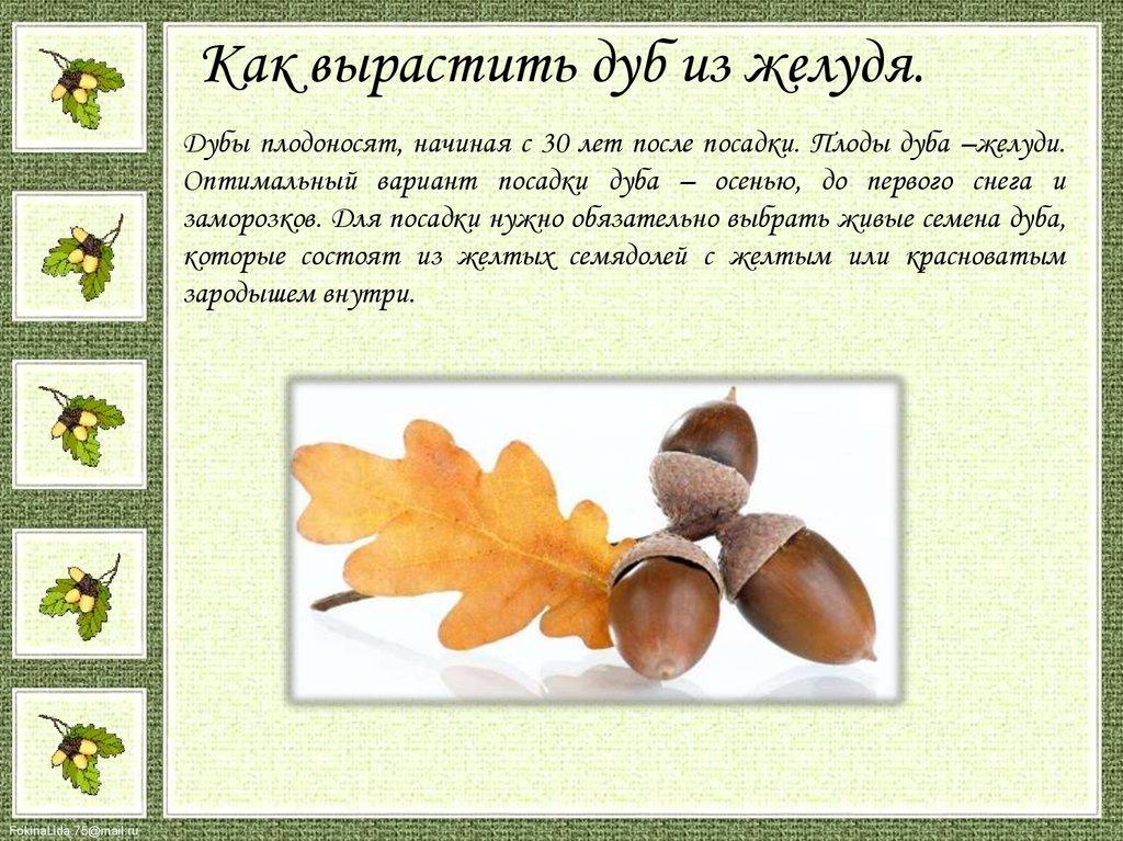 Дуб — википедия с видео // wiki 2