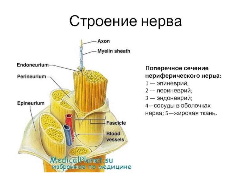 Что такое блуждающий нерв, его строение и возможные недуги