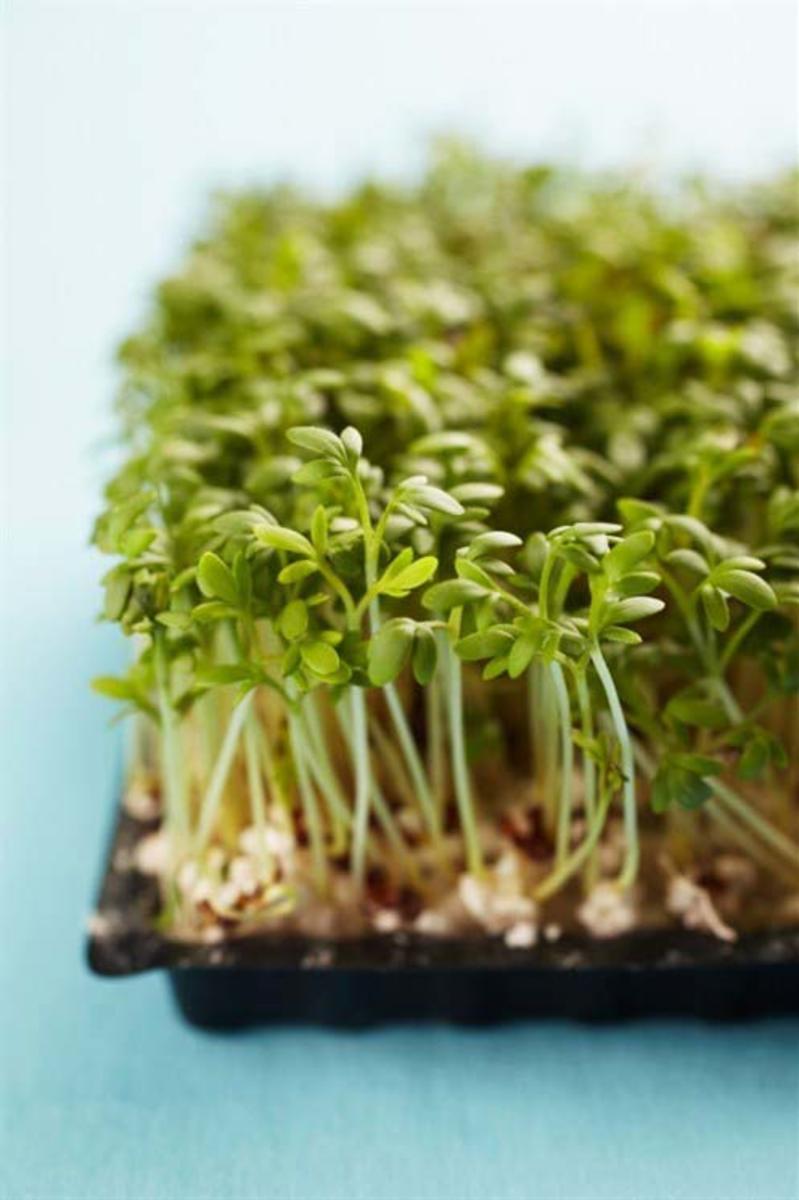 Кресс-салат: выращивание на подоконнике, посадка и уход в открытом грунте