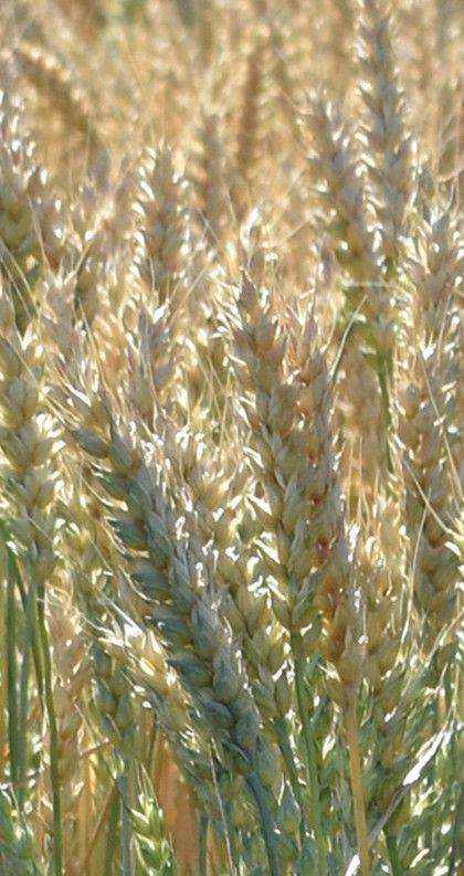 Пшеница фуражная: что такое фураж 5 класс, срок годности зерна, чем отличается от продовольственной