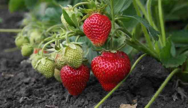 Кизил - что приготовить из него, чем полезны ягоды и рецепты интересных блюд на любой вкус!