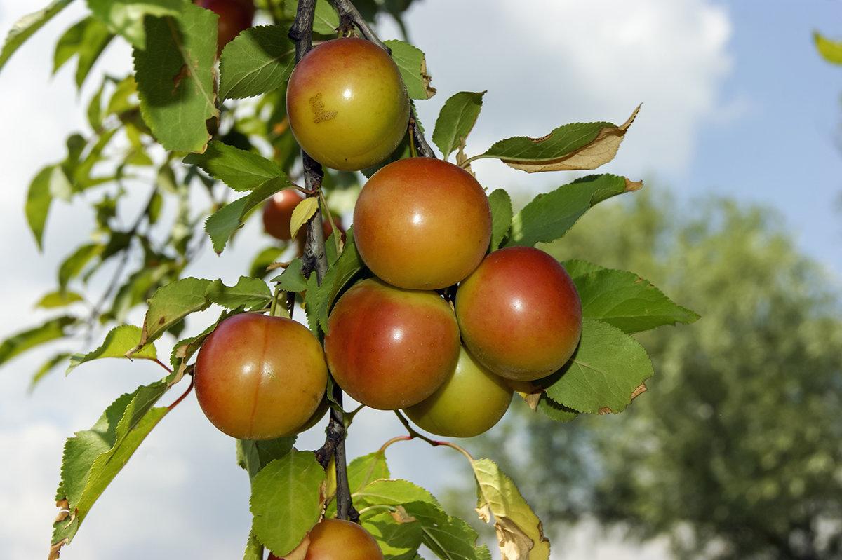 Алыча — фрукт, похожий на ягоду