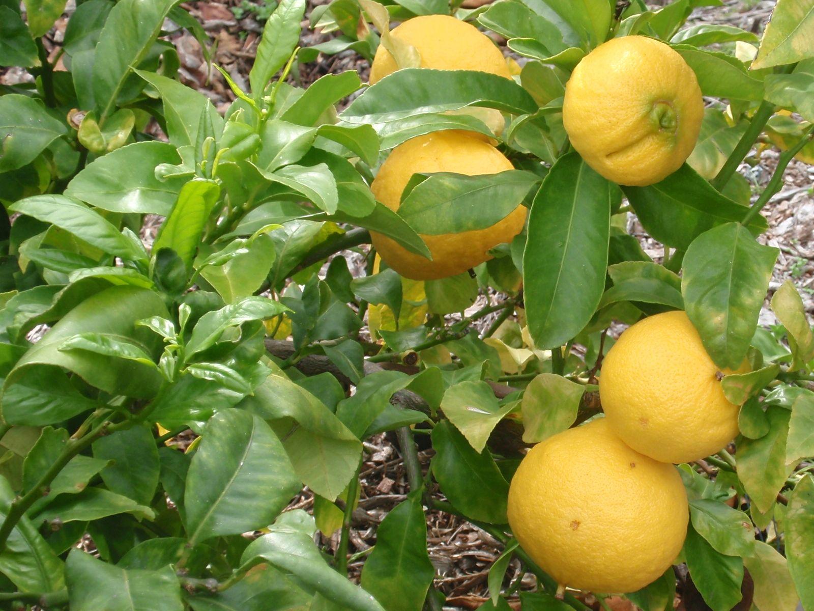 Бергамот - что это за растение, как выглядит, полезные свойства и противопоказания. состав и калорийность плодов бергамота. что делают из бергамота и как его выращивать