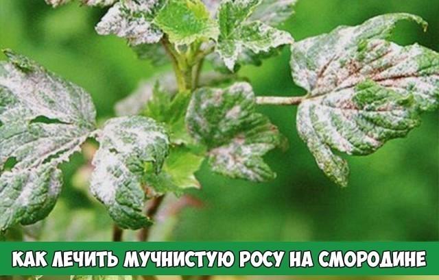 Почему появился белый налет на смородине?   огородник что делать, если на смородине появился белый налет?   огородник