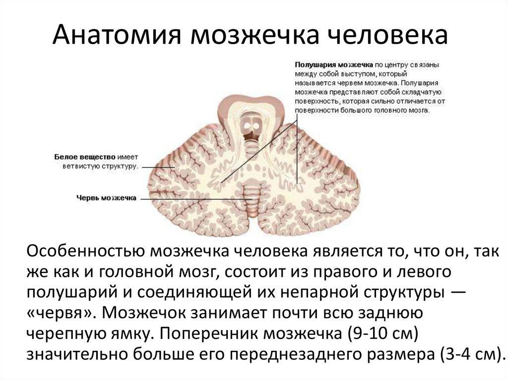 За что отвечает мозжечок головного мозга, его расположение и функции