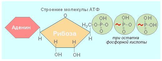 Энергетический обмен в клетке: его этапы, последовательность, значение в биологии