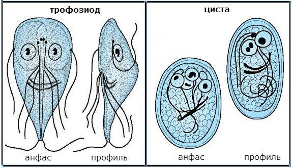 Что такое циста в биологии у простейших. что такое циста - особенности, стадии развития и способы лечения