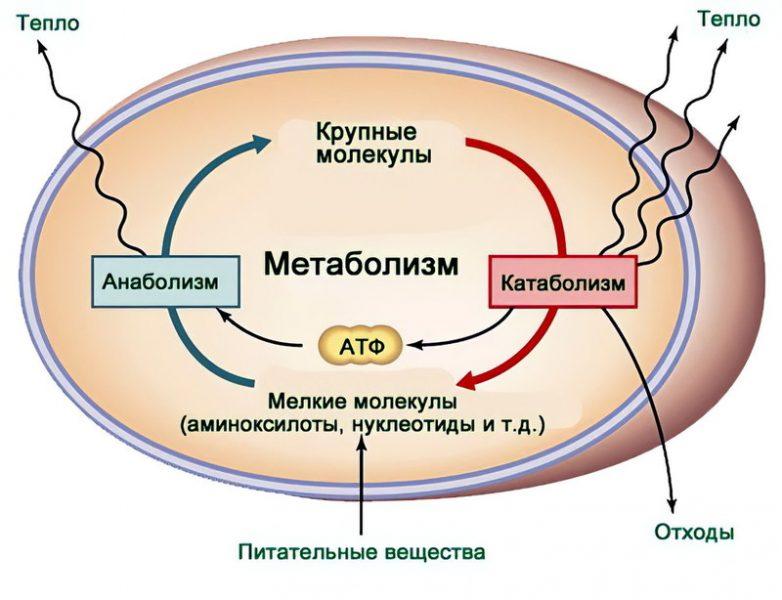 Анаболизм и катаболизм - энергетический обмен и взаимосвязь процессов в организме