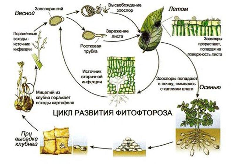 Фитофтороз на помидорах как бороться народными средствами