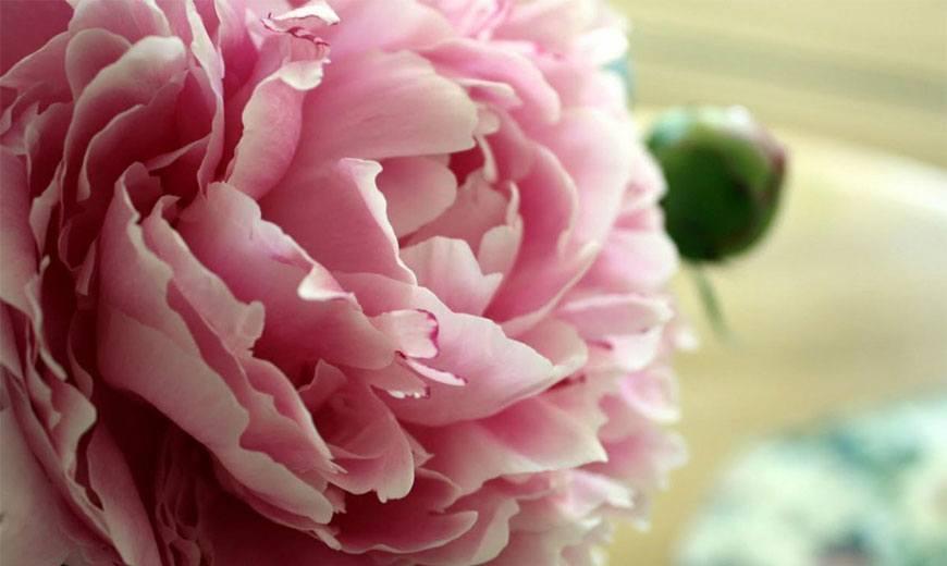 Ито-гибриды: что это за пионы, их правильная посадка, уход и размножение | в цветнике (огород.ru)