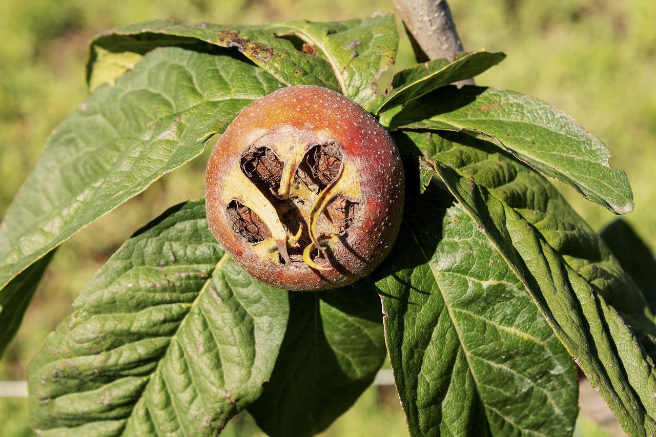 Мушмула домашняя: виды, выращивание, уход (45 фото) +отзывы